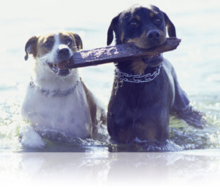Two dogs swimming with a stick in their mouths, Fishbowl Inventory Blog