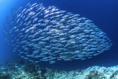 Hundreds of small fish combine to become a giant group, Fishbowl Inventory Blog